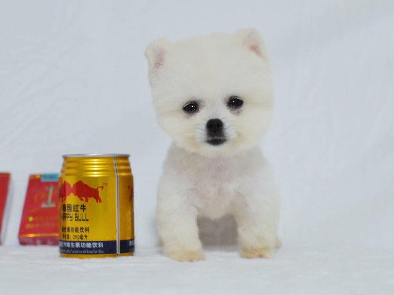 国内最具规模的茶杯犬犬舍、保纯种保健康