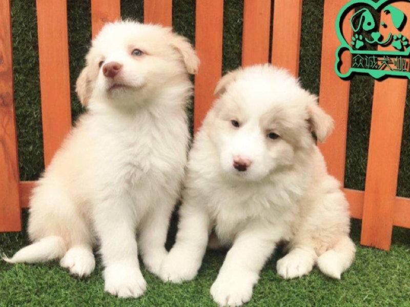 出售纯种血统边境牧羊犬七白到位三通赛级边牧幼犬活体宠物狗狗