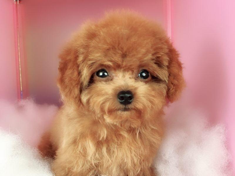 纯种棕红色泰迪犬出售茶杯体质品质优秀上门看狗