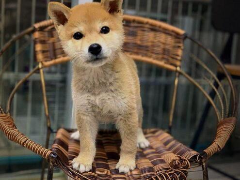 出售精品柴犬 打完疫苗证书齐全 提供养狗指导