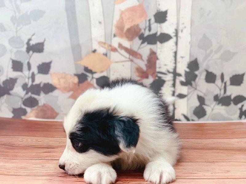 出售纯种健康的边境牧羊犬幼犬签订终身协议
