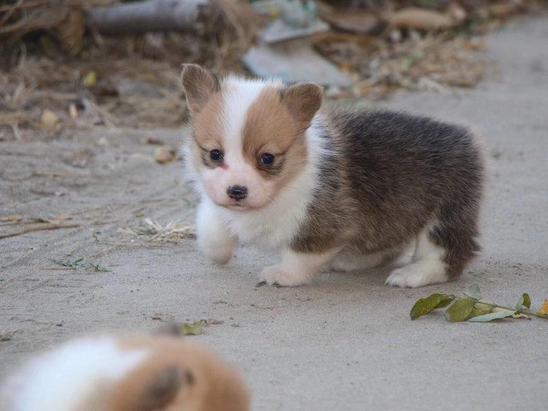 柯基犬宝宝 小短腿卡爱威尔士柯基犬幼犬阿拉善盟售