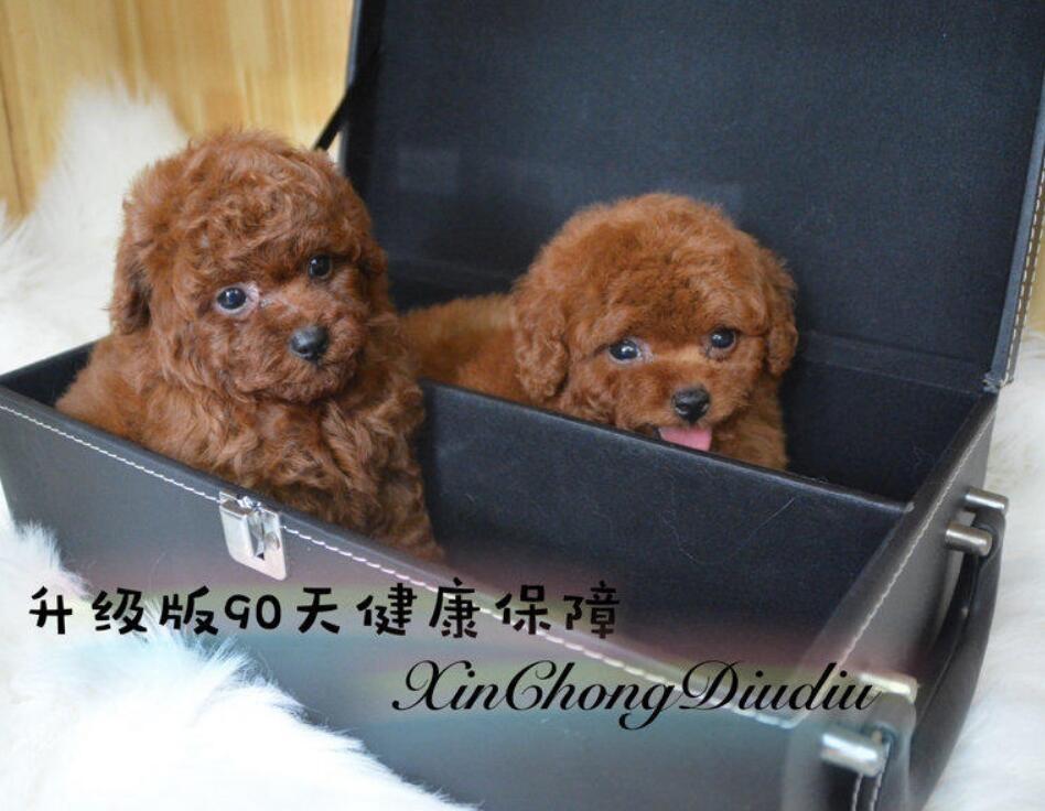 100%纯种健康的贵宾犬出售终身质保终身护养指导