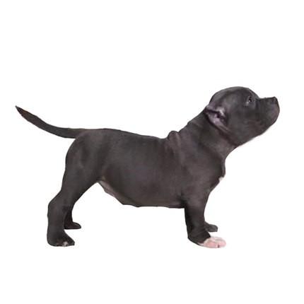美国恶霸犬最大的正规犬舍完美售后狗贩子请绕行