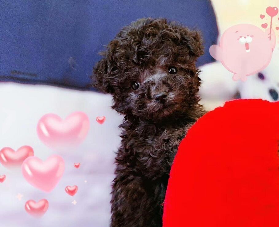 出售顶级双血统韩版小体茶杯犬茶杯泰迪茶杯犬博美包活
