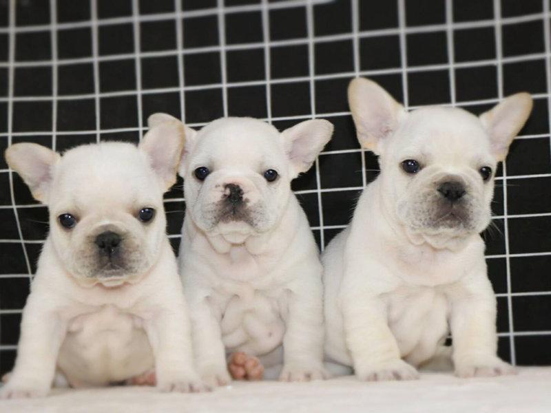 CKU犬舍认证出售高品质法国斗牛犬欢迎实地挑选