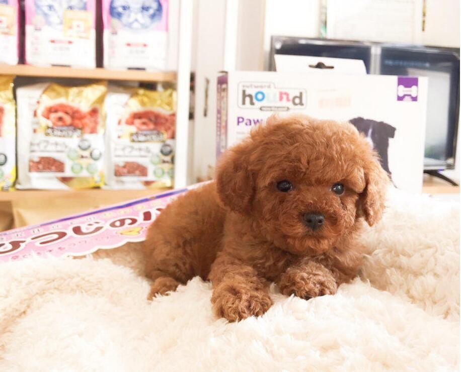极品贵宾犬找新家 卷毛贵妇狗各颜色都有可挑选
