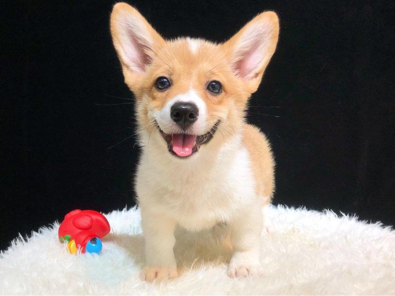 最大的柯基犬繁殖基地、保障品质、可全国办理托运