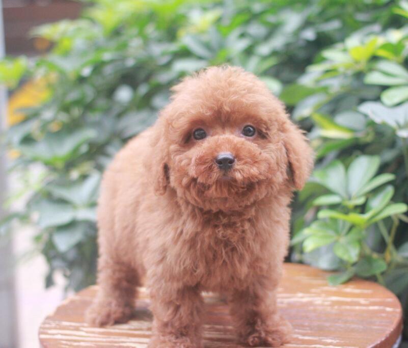 赛级贵宾犬幼犬,真实照片保纯保质,可送货上门