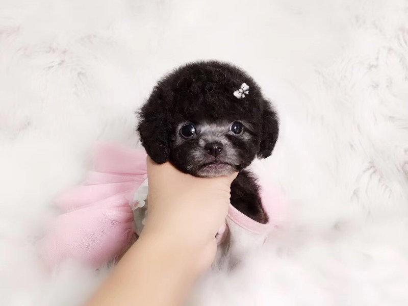 国际注册犬舍 出售极品赛级茶杯犬幼犬欢迎爱狗人士上门选购