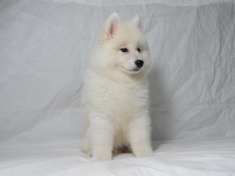 出售纯种萨摩耶幼犬出售 萨摩耶活体 疫苗已做完 欢迎选购