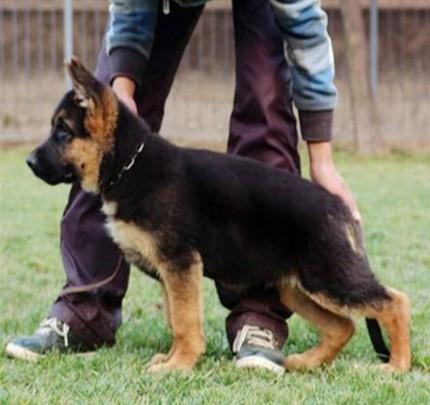 好品质德国黑背犬价钱便宜健康好养活喜欢来看