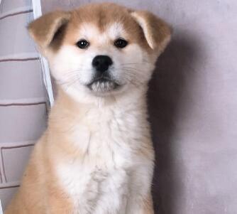 秋田犬幼犬出售中 注射芯片颁发证书 签订终身合同