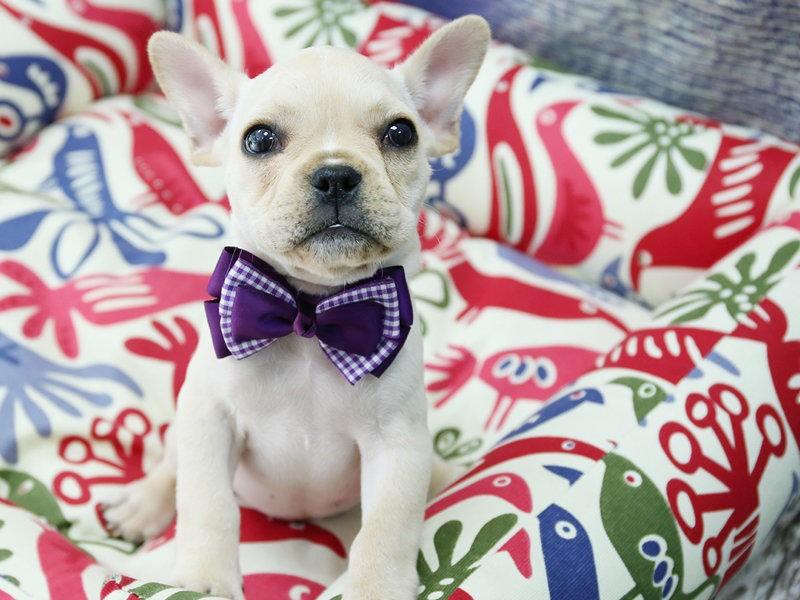 纯血犬有芯片证书送保险法国斗牛犬狗狗活体法斗纯种幼犬