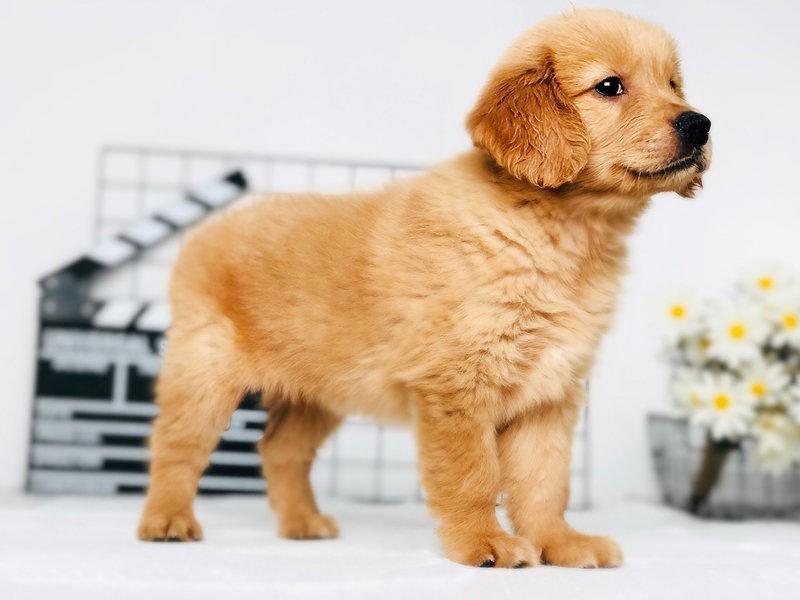 售精品金毛幼犬优质伴侣犬性格稳定好训练已断奶
