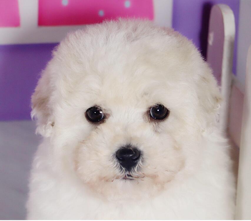 出售贵宾犬公母都有品质一流终身质保终身护养指导
