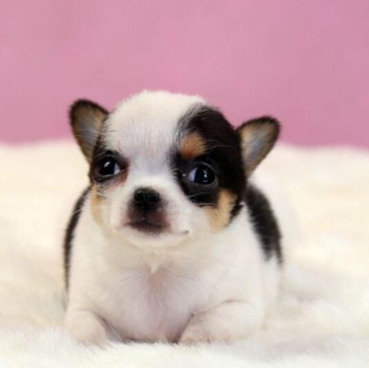 重庆出售吉娃娃幼犬保证纯种健康长毛短毛都有