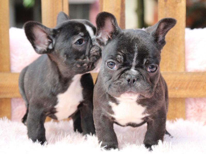 出售极品法国斗牛犬幼犬完美品相CKU认证绝对信誉保障