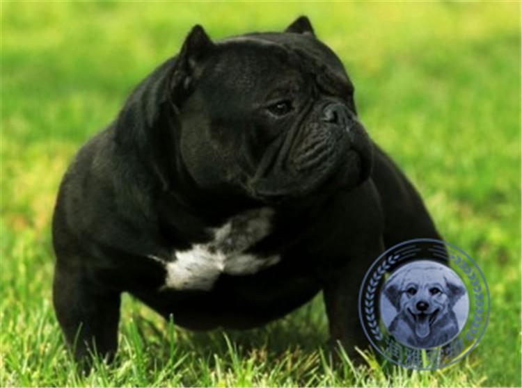 多种颜色的赛级美国恶霸犬幼犬寻找主人可签订活体销售协议