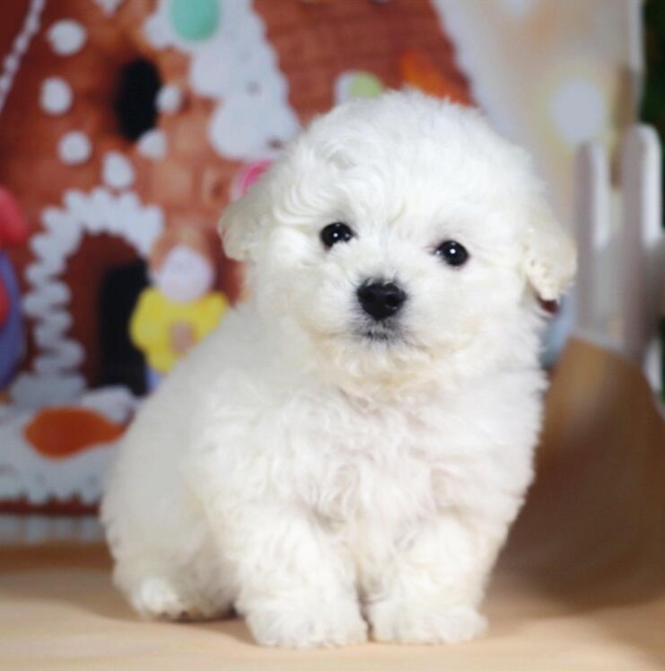 出售极品贵宾犬幼犬完美品相签署质保合同