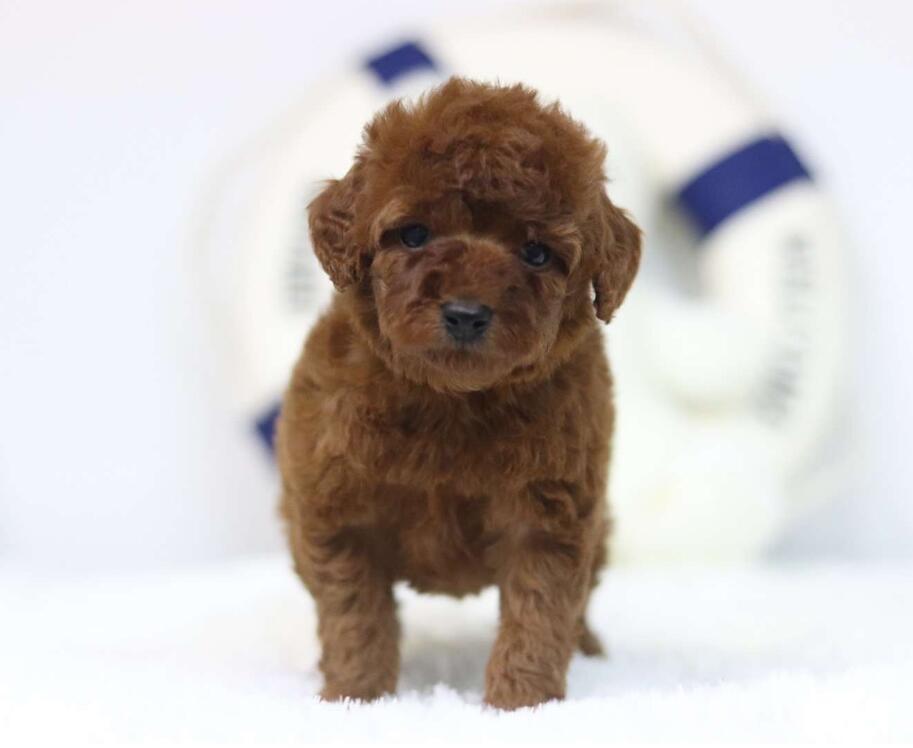 出售纯种茶杯犬~签协议保健康~疫苗齐全送货上门