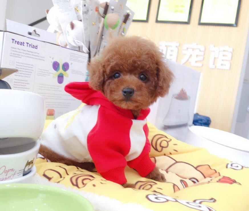 精品茶杯泰迪熊找新家泰迪体型小聪明好养方便携带