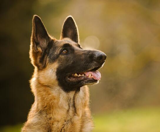 高品质德牧犬、可送货到家、售后签订协议、全天看狗
