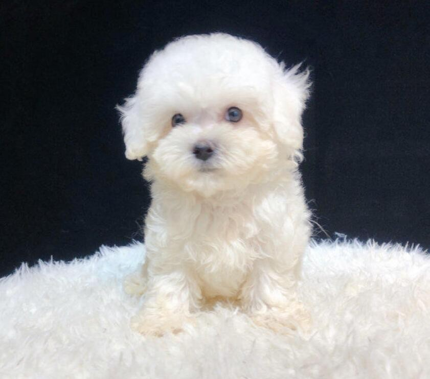 多种颜色的赛级贵宾犬幼犬寻找主人微信选狗直接视频