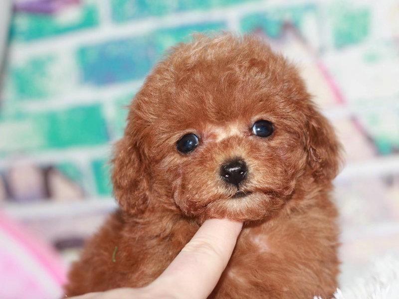 精品泰迪犬转让韩系顶级超小体泰迪玩具犬性价比高