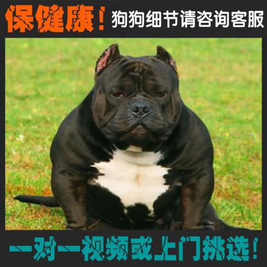 权威机构认证犬舍、专业恶霸犬繁殖、完美售后