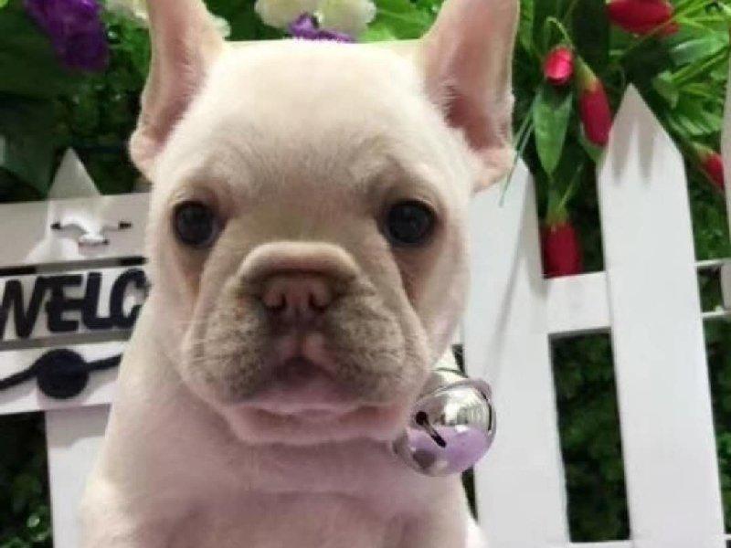 多种颜色的法国斗牛犬找爸爸妈妈微信咨询视频看狗