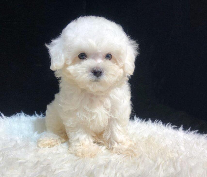 赛级泰迪犬幼犬转让疫苗驱虫已做欢迎上门来看狗