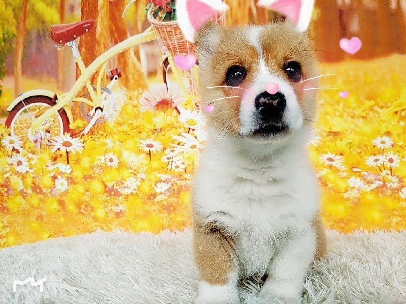 最大犬舍出售多种颜色柯基实物拍摄直接视频