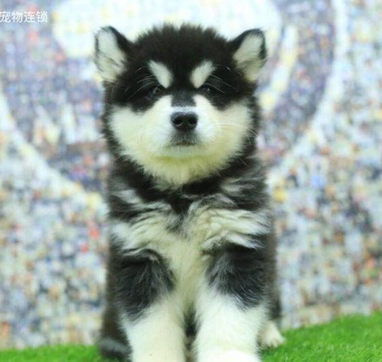 热销阿拉斯加犬幼犬、完美品相 品质第一、签订正规合同