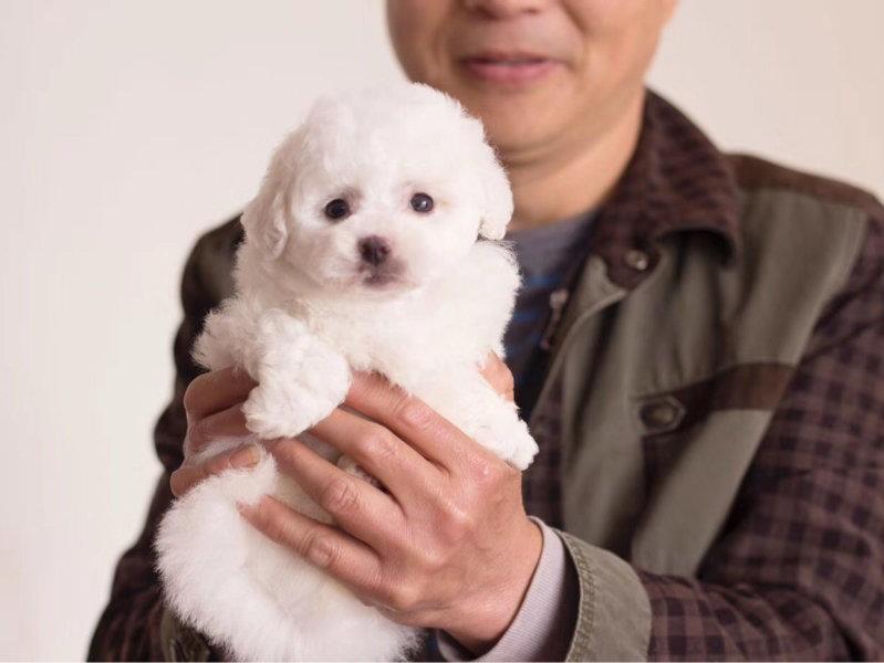 国内最具规模的比熊犬专业繁殖犬舍,保纯种保健康
