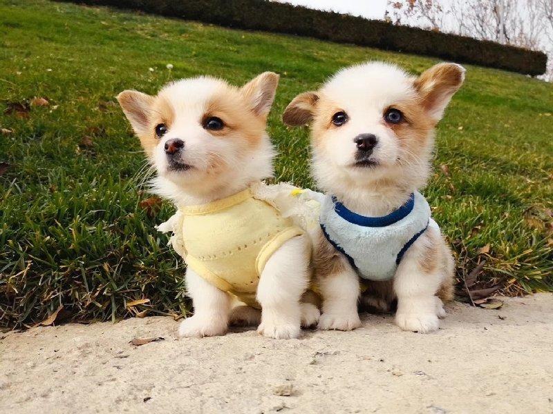 出售柯基幼犬短粗腿火车头 三色两色都有 终身保质量