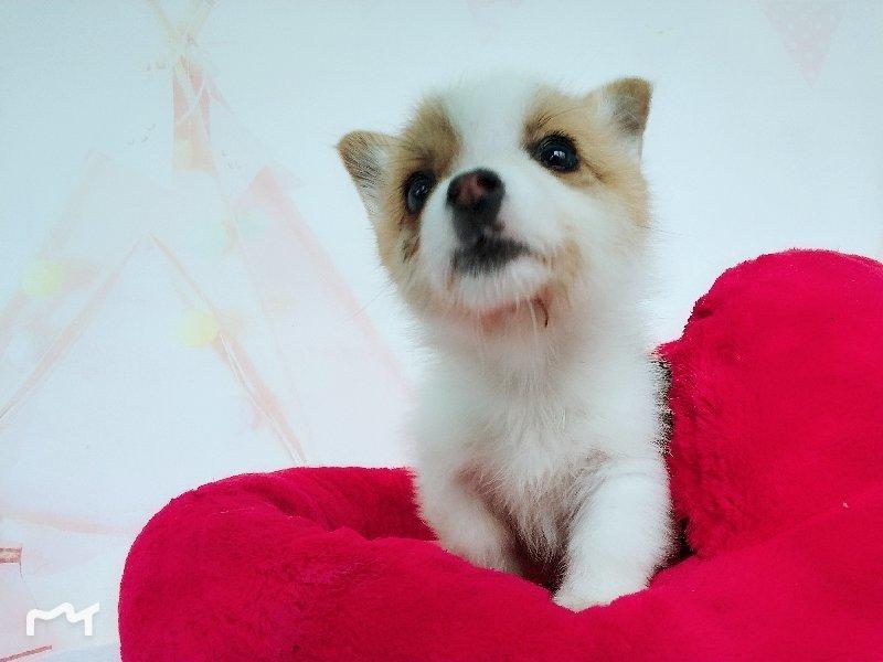 纯种威尔士柯基幼犬 健康有保障 可签协议免费送货