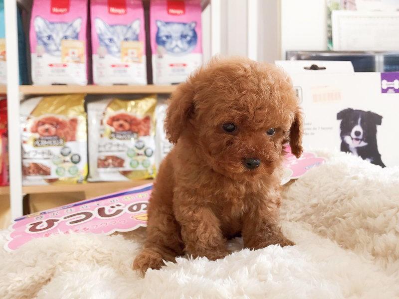 出售聪明伶俐茶杯犬品相极佳保终身送用品