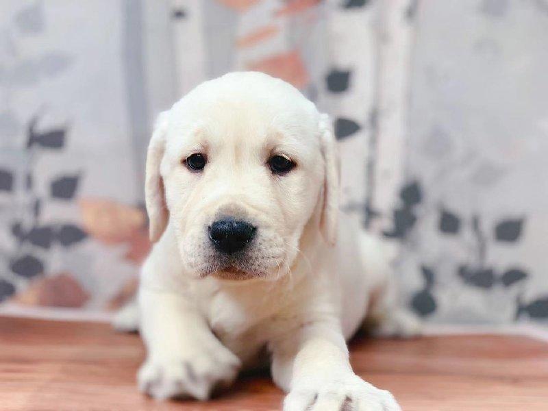 专业的拉布拉多犬舍终身保健康可签订活体销售协议