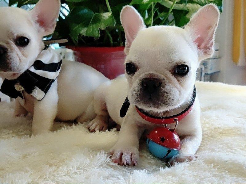 精品纯种法国斗牛犬出售质量三包终身质保终身护养指导
