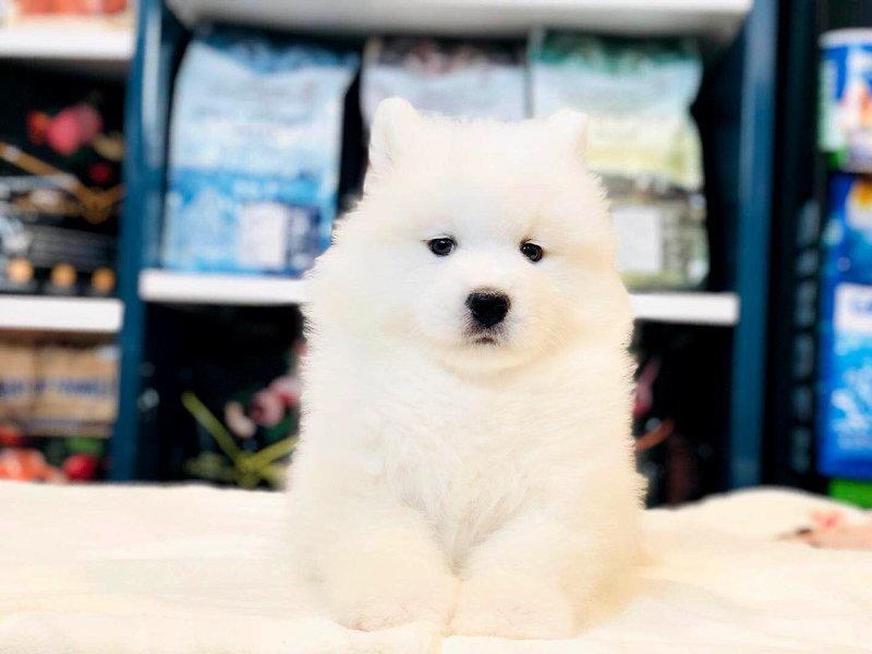 专业赛级萨摩耶犬繁殖 完美售后,视频挑选,一宠一证