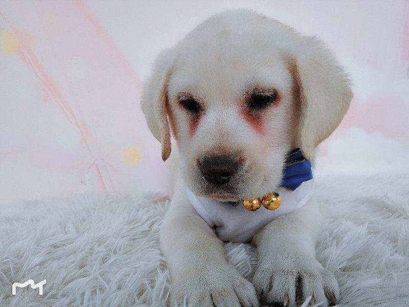 极品拉布拉多热销中、精心繁育品质优良、微信咨询看狗