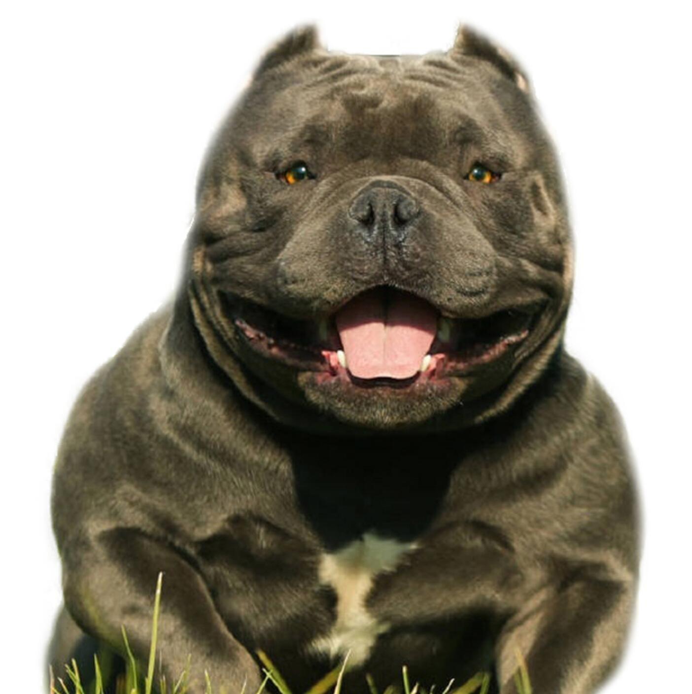 精品美国恶霸犬幼犬一对一视频服务买着放心真实照片包纯