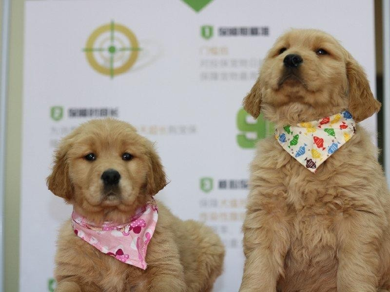 精品纯种金毛出售质量三包微信看狗可见父母