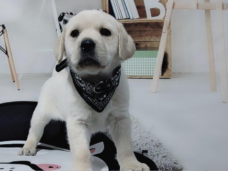 CKU认证犬舍出售高品质拉布拉多三针疫苗齐全
