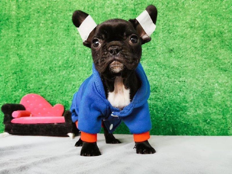高品质法国斗牛犬 保纯种保健康 可签协议 品质保障