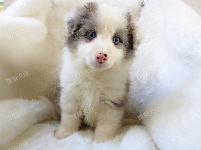 热销边境牧羊犬幼犬、专业繁殖宝宝健康、签协议可送货