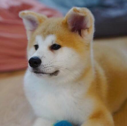 出售秋田犬公母都有品质一流可直接微信视频挑选