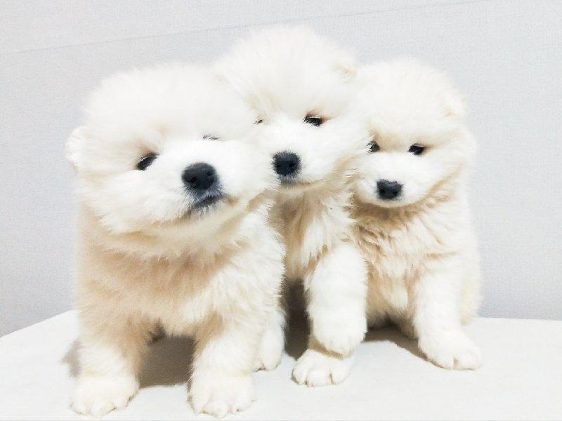 自家繁育大骨架纯白色无杂毛萨摩耶犬已断奶送狗粮