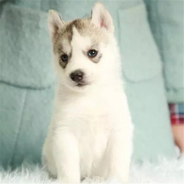 视频看狗、哈士奇犬、三针做齐可看父母、免费送狗上门